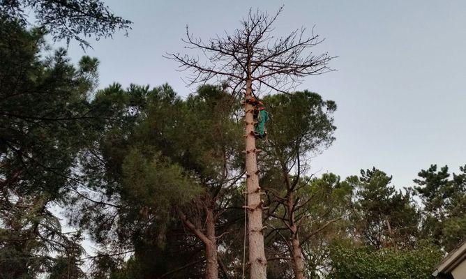 Tala - barrenador del pino-borjardin.P