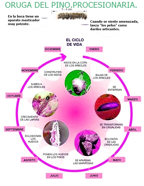 ciclo-procesionaria