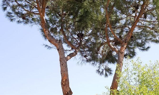Tala y poda de pinos en Collado Villalba (5)