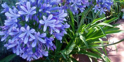 Plantas de exterior resistentes. Mantenimiento de jardín.borjardin.es.agapanthus