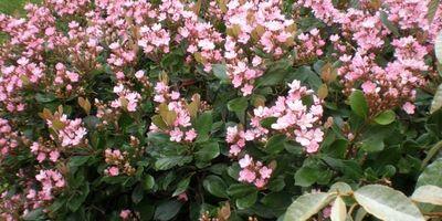 Plantas de exterior resistentes. Mantenimiento de jardín.borjardin.es.durillo