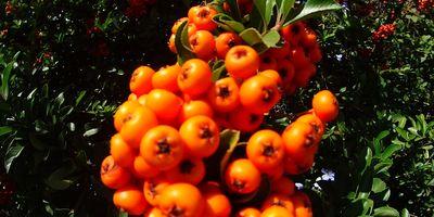 Plantas de exterior resistentes. Mantenimiento de jardín.borjardin.es.espno de fuego