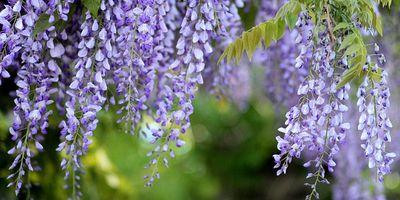 Plantas de exterior resistentes. Mantenimiento de jardín.borjardin.es.glicinea.