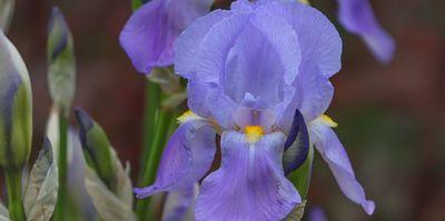 Plantas de exterior resistentes. Mantenimiento de jardín.borjardin.es.lirio azul (1)