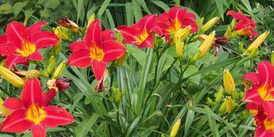 Plantas de exterior resistentes. Mantenimiento de jardín.borjardin.es.lirio azul (2)