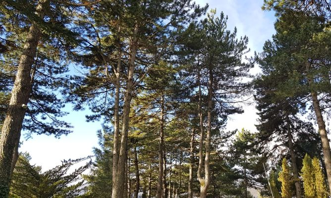 Poda de pinos en San Lorenzo de El Escorial.p