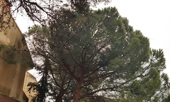 Poda de pinos en Valdemorillo.p